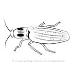 How to Draw a Click Beetle