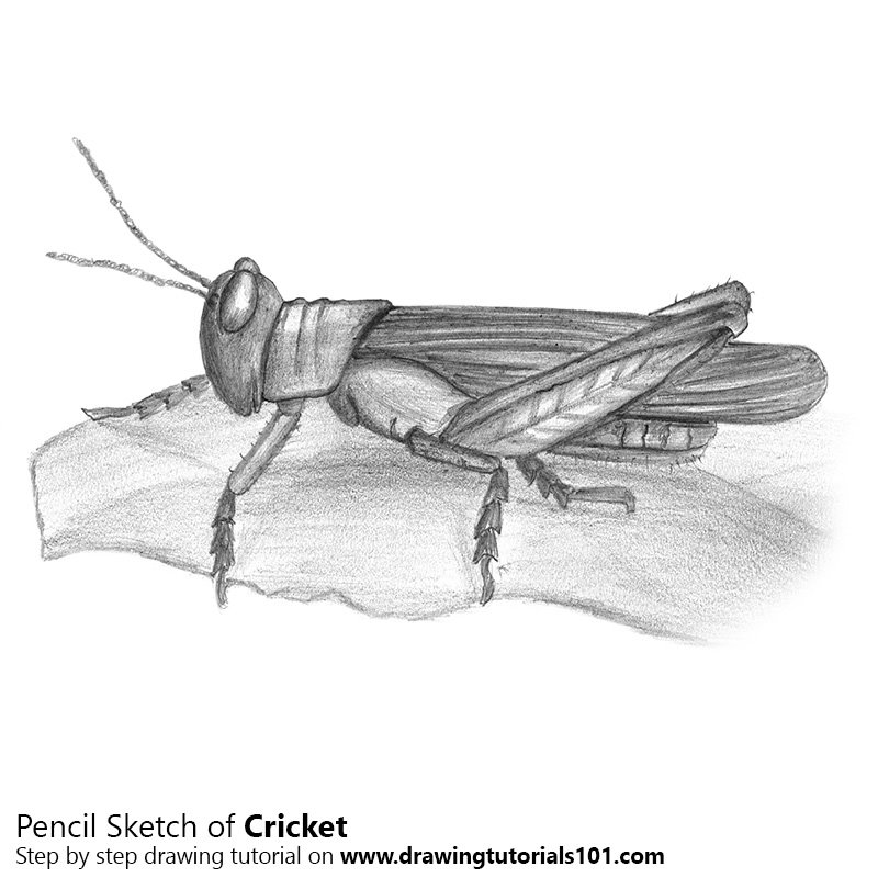 Cricket pencil drawing how to sketch cricket using pencils drawingtutorials101 com