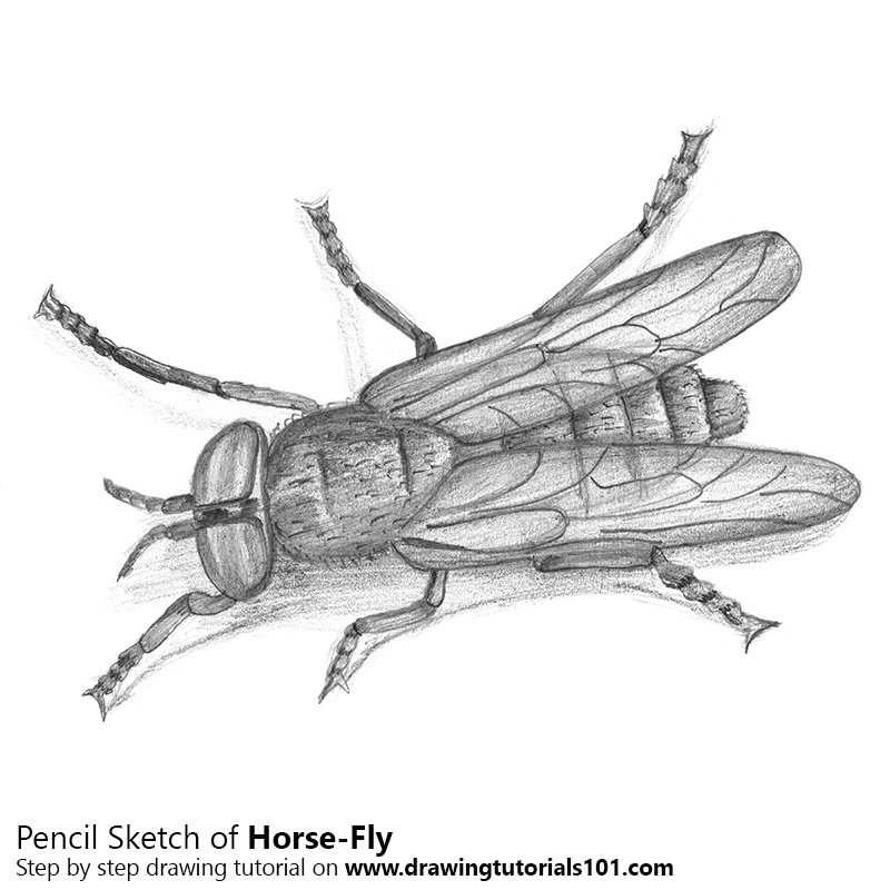 Pencil Sketch of Horse-Fly - Pencil Drawing