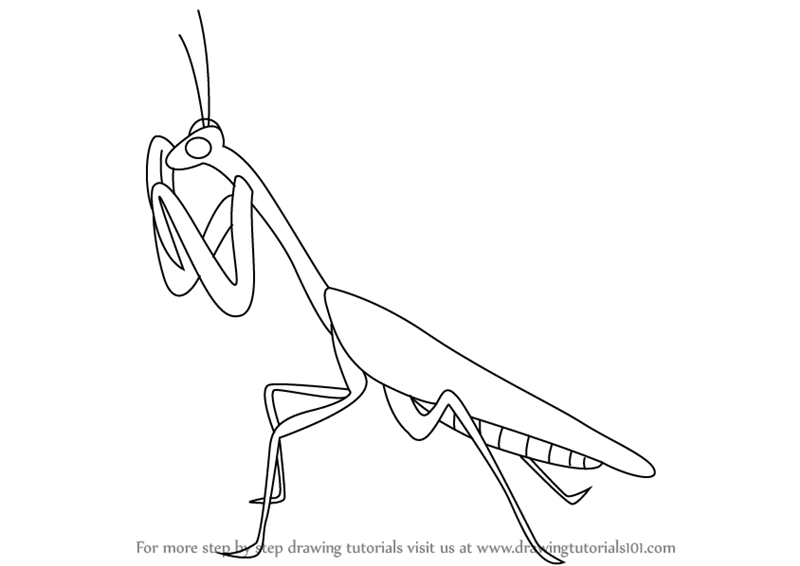 Learn How To Draw A Mantis Insects Step By Step