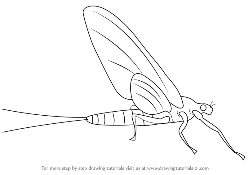 how to draw a mayflies