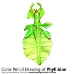 How to Draw a Phylliidae