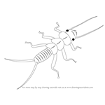 How to Draw a Plecoptera