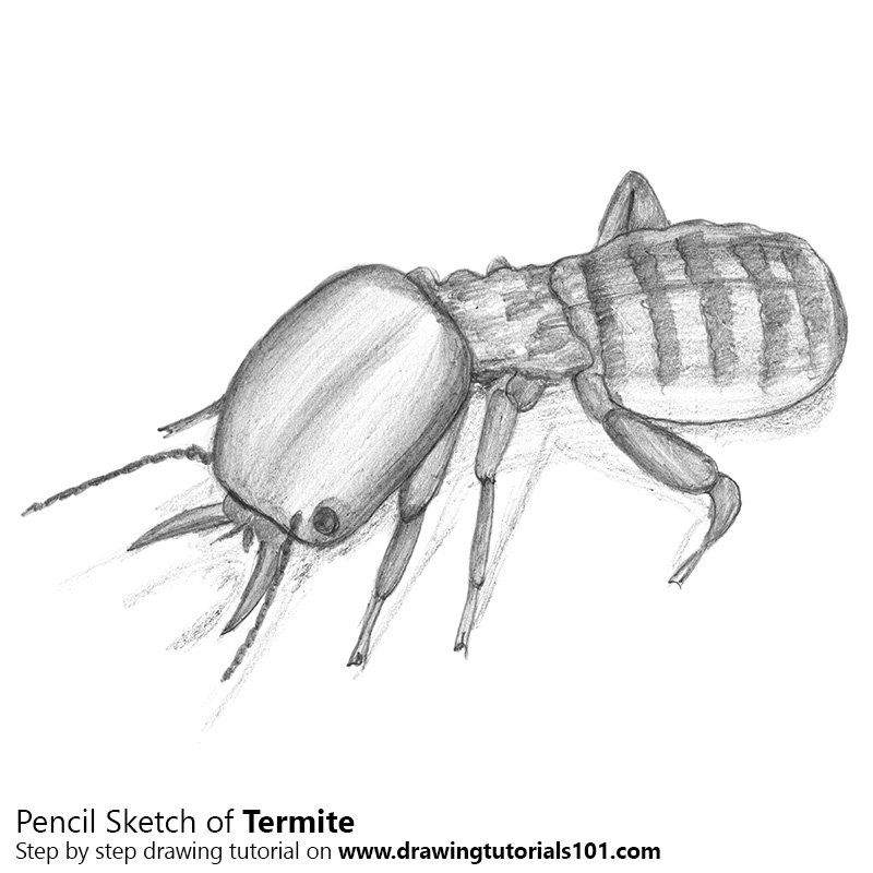 Pencil Sketch of Termite - Pencil Drawing