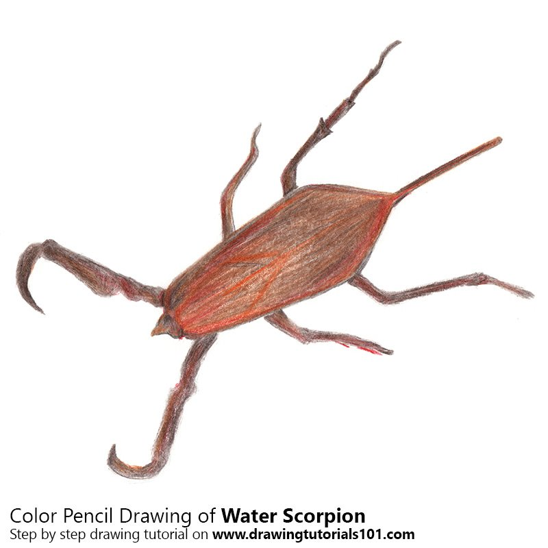 Water Scorpion Color Pencil Drawing