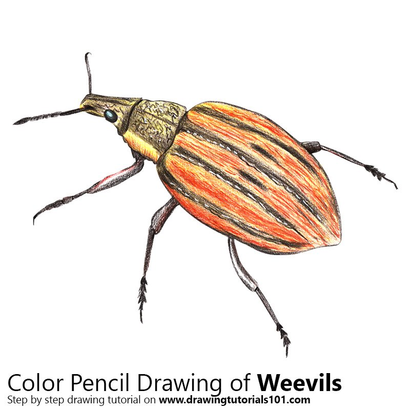 Weevil Color Pencil Drawing