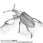 Weevil Pencil Sketch