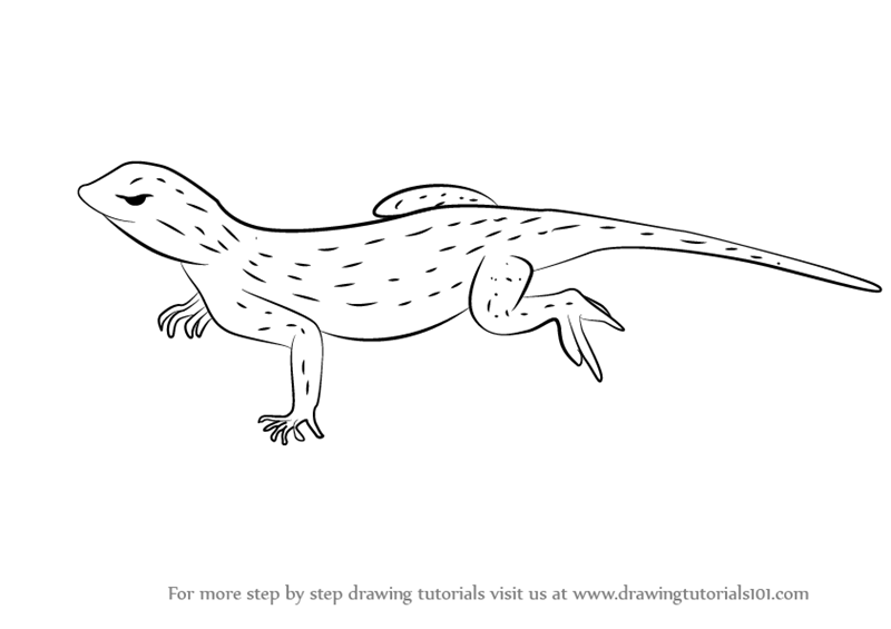 Line Drawing Lizard : Learn how to draw an uma lizard lizards step by