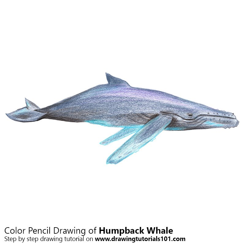 Humpback Whale Color Pencil Drawing