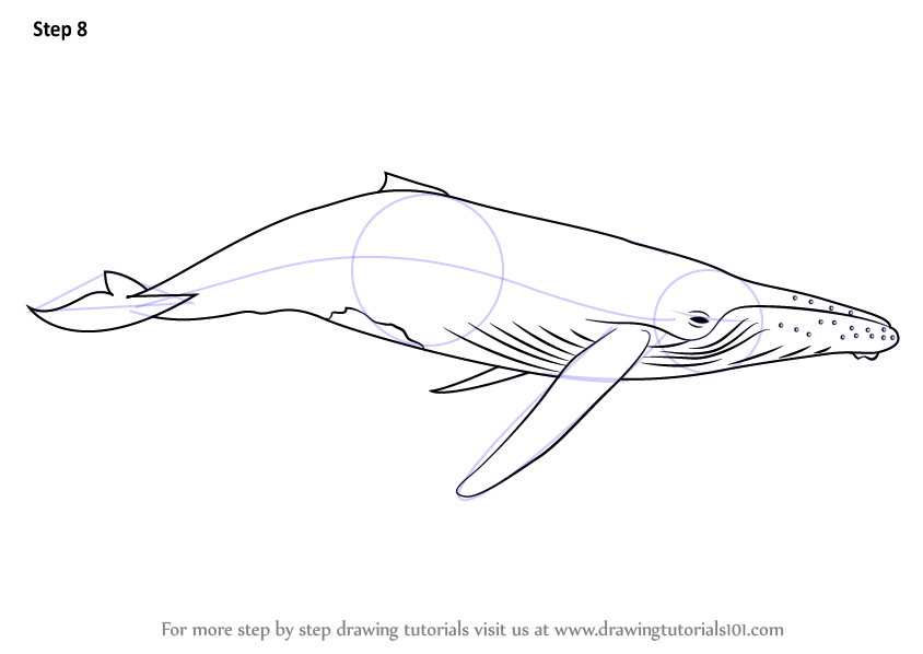 Learn How To Draw A Humpback Whale Marine Mammals Step By Step