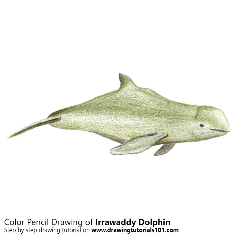 Irrawaddy Dolphin Color Pencil Drawing