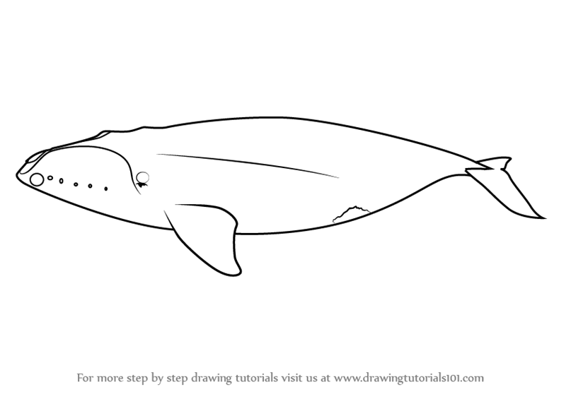Learn How To Draw A North Pacific Right Whale Marine