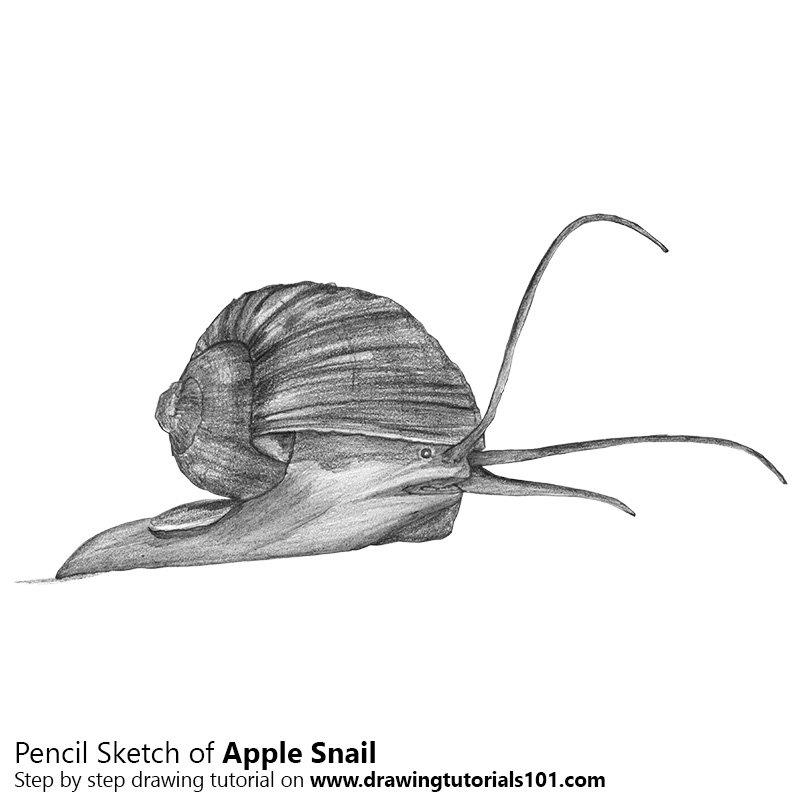 Pencil Sketch of Apple Snail - Pencil Drawing