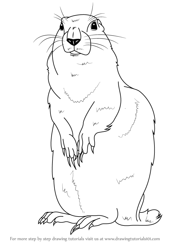 Learn How to Draw an Arctic Ground Squirrel Other Animals Step