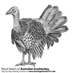 How to Draw an Australian brushturkey