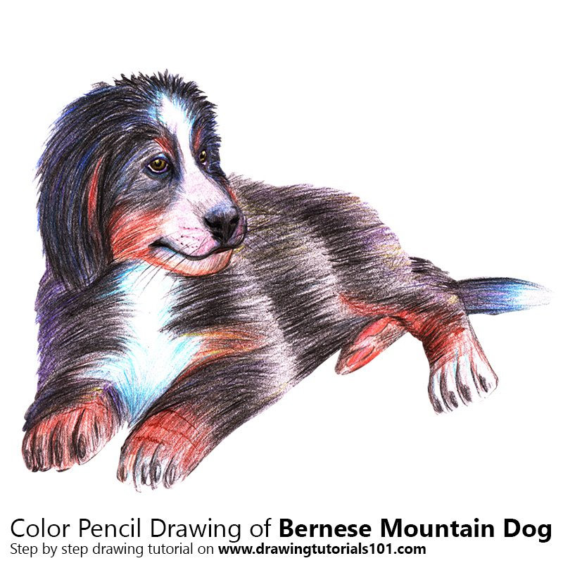 A Bernese Mountain Dog Color Pencil Drawing