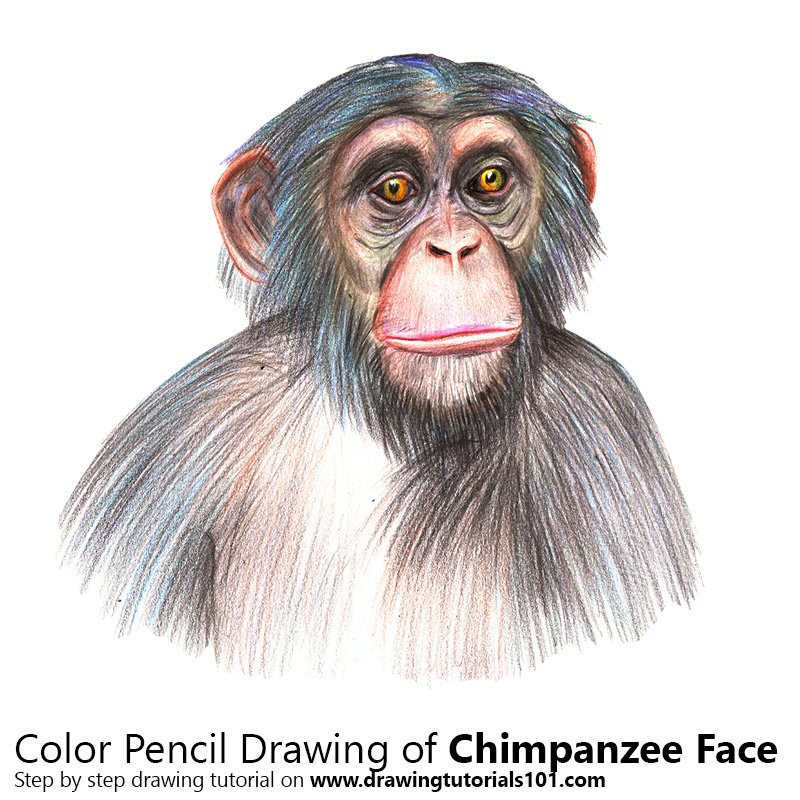 chimpanzee face colored pencils drawing chimpanzee face with color