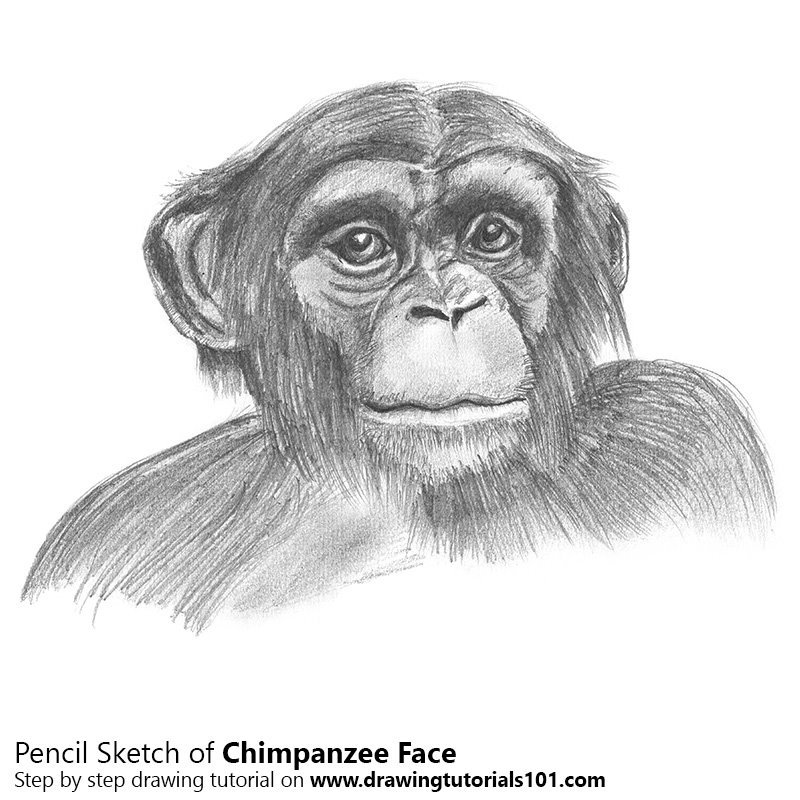 Chimpanzee face pencil drawing how to sketch chimpanzee face using pencils drawingtutorials101 com