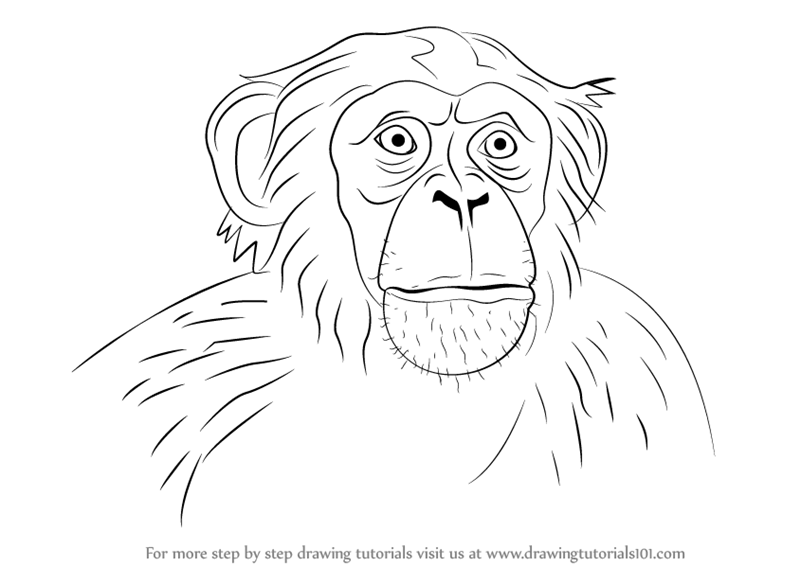 learn how to draw chimpanzee face other animals step by step