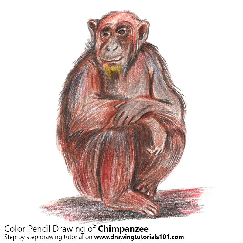 Chimpanzee Color Pencil Drawing