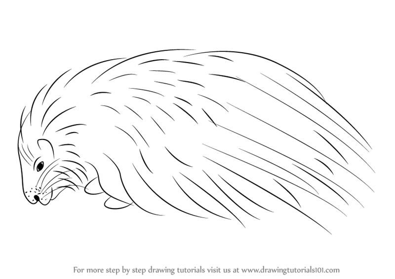 learn how to draw a crested porcupine other animals step by step drawing tutorials