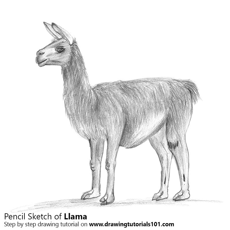 Pencil Sketch of Llama - Pencil Drawing