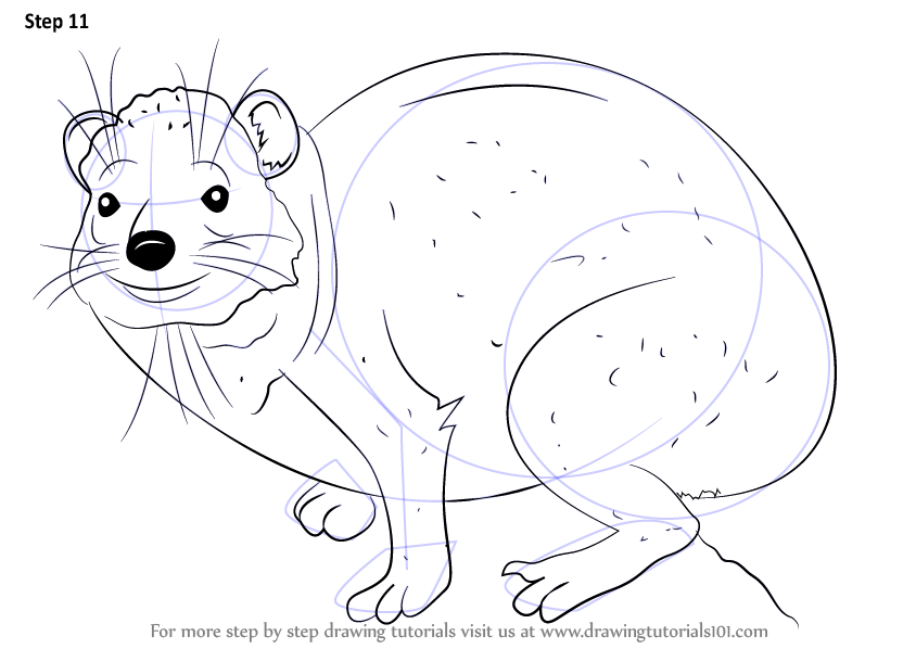 Step by Step How to Draw a Rock Hyrax