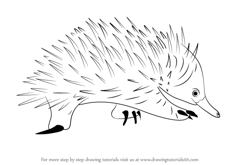 learn how to draw a spiny anteater  other animals  step by