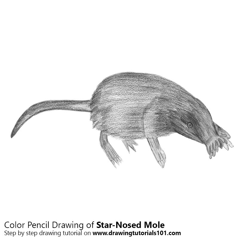 Pencil Sketch of Star-Nosed Mole - Pencil Drawing