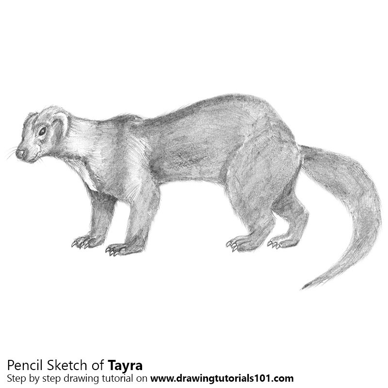 Pencil Sketch of Tayra - Pencil Drawing