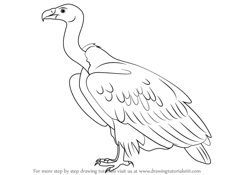 Vulture Line Drawing Learn How to Draw a Wh...