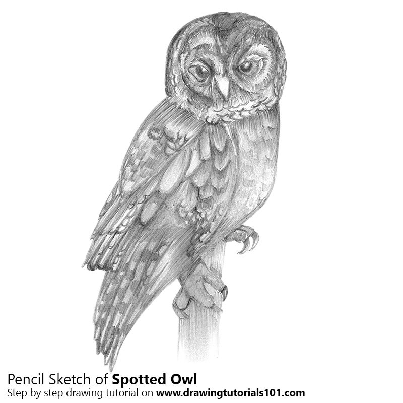 Spotted owl pencil drawing how to sketch spotted owl using pencils drawingtutorials101 com