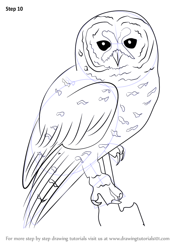 Learn how to draw a spotted owl owls step by step for Draw an owl in two steps