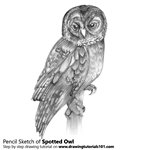 Spotted Owl Pencil Sketch