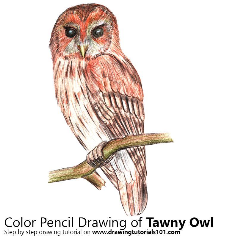 Tawny Owl Color Pencil Drawing