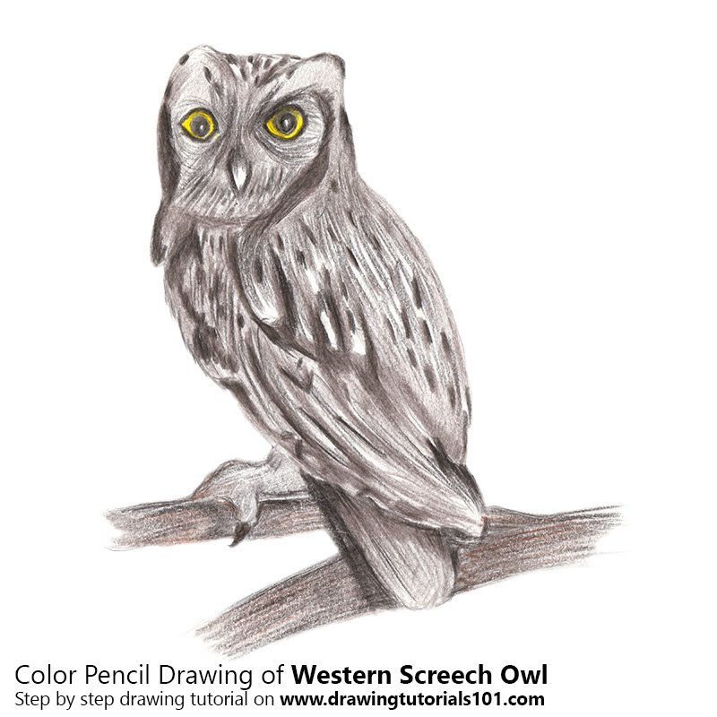 Western Screech Owl Color Pencil Drawing