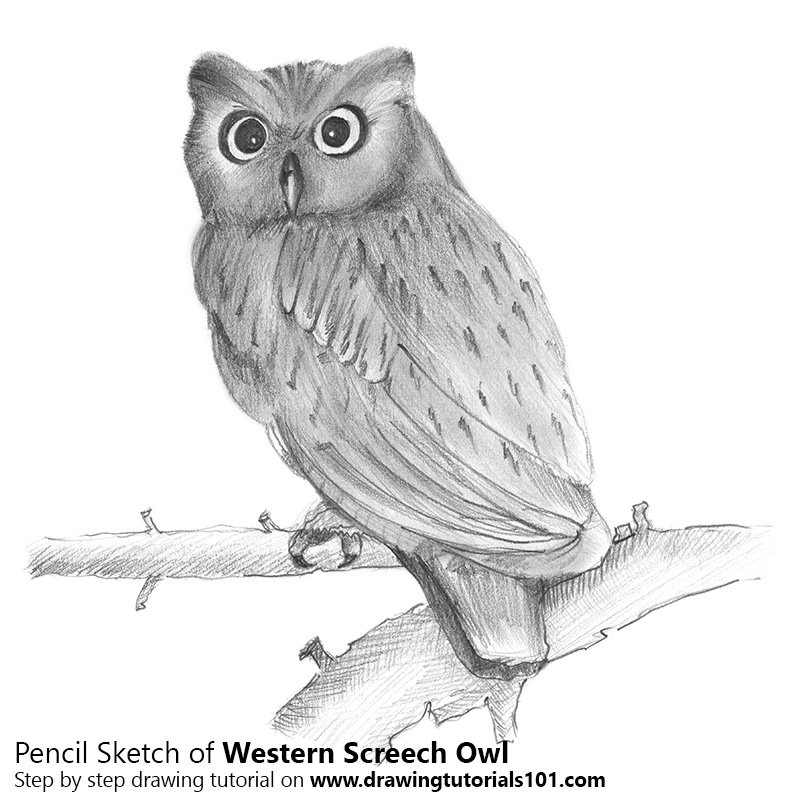 Western screech owl pencil drawing how to sketch western screech owl using pencils drawingtutorials101 com