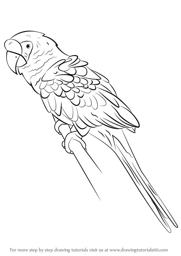 Learn How To Draw A Military Macaw Parrots Step By Step