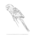 How to Draw a Military macaw