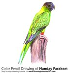 How to Draw a Nanday Parakeet