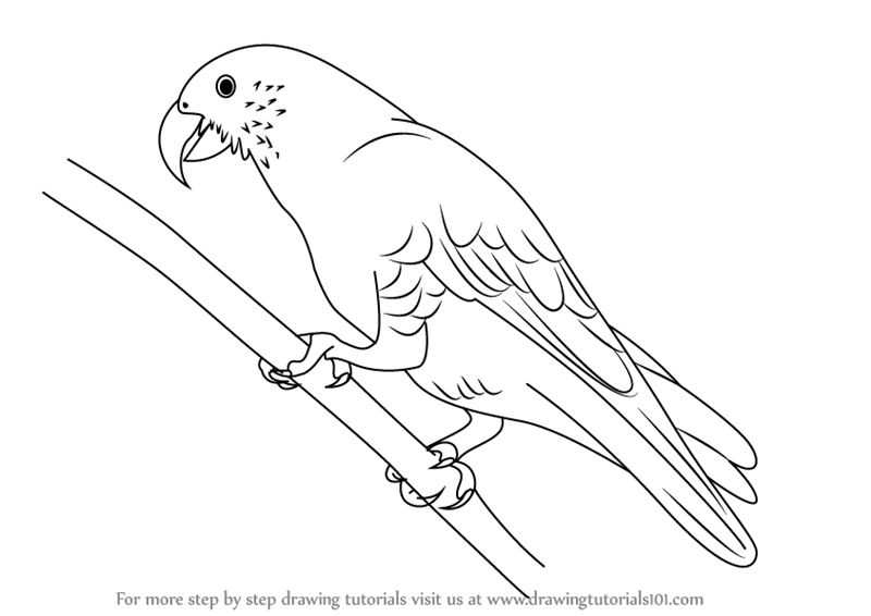 Line Drawing Of New Zealand : Learn how to draw a kaka parrots step by drawing