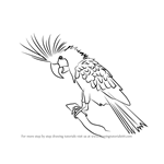 How to Draw a Palm Cockatoo
