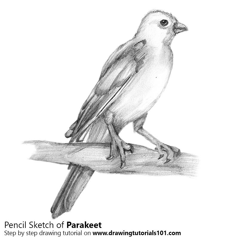 Pencil Sketch of Parakeet - Pencil Drawing