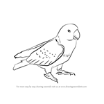 How to Draw Red Parrot