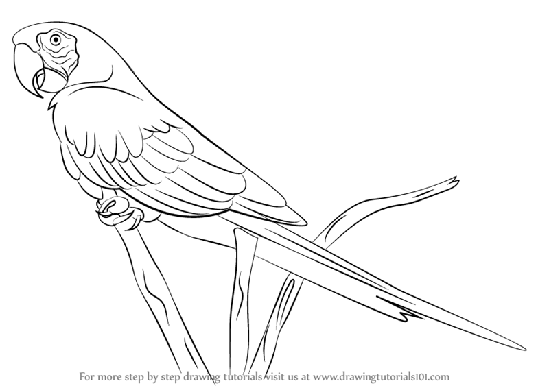 Learn How To Draw A Scarlet Macaw Parrots Step By Step Drawing