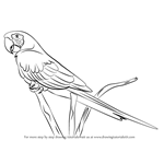 How to Draw a Scarlet Macaw