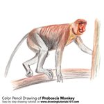 How to Draw a Proboscis Monkey