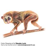 How to Draw a Slender Loris