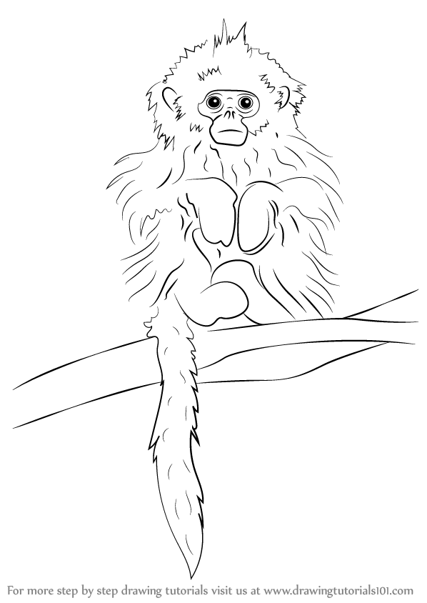 Learn How To Draw A Tonkin Snub Nosed Monkey Primates