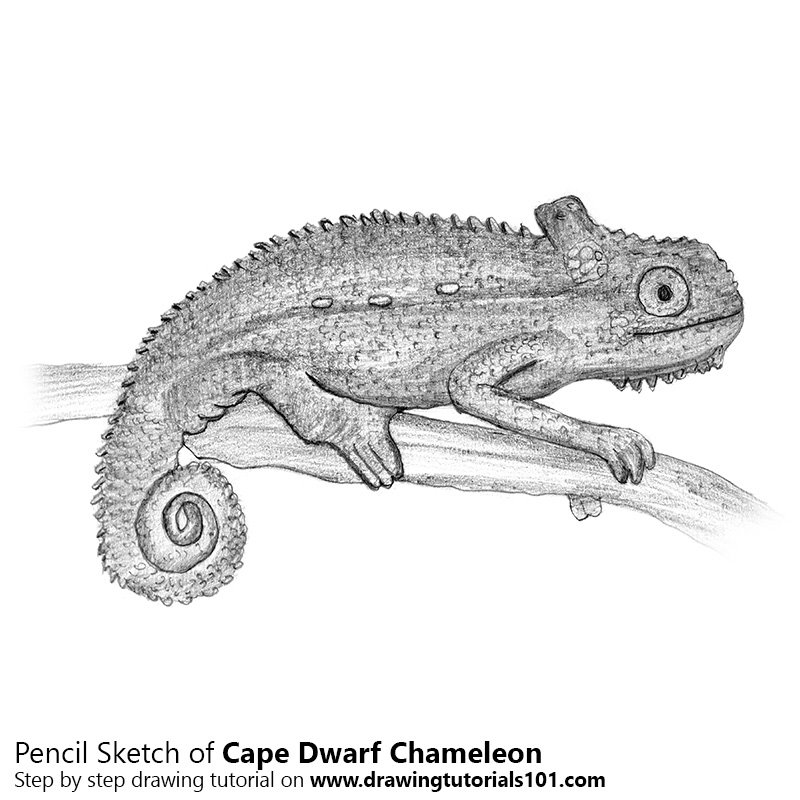 Pencil Sketch of Cape dwarf chameleon - Pencil Drawing